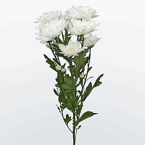 Хризантема кустовая белая, Цветы 24/7