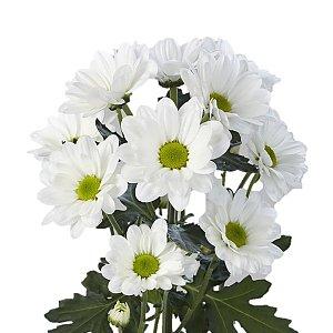 Хризантема кустовая белая (ромашка), Цветы 24/7