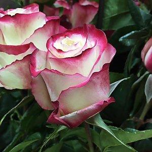 Роза Свитнесс 60см, Времена Года