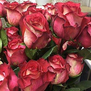 Роза Игуазу 60см, Времена Года