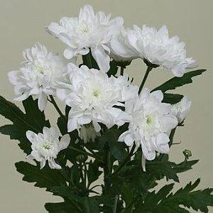 Хризантема Зембла белая, Лаванда - Бобруйск