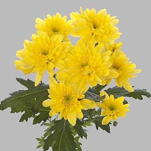 Хризантема Зембла желтая, Лаванда - Бобруйск